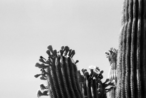 detail of saguaro